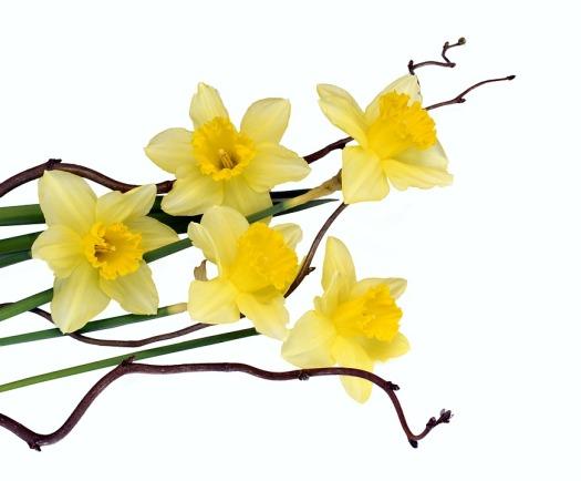 daffodils-3266550_960_720
